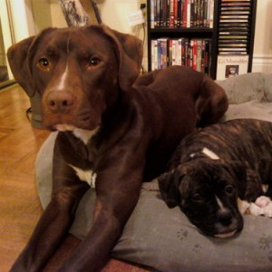 Lexi & Izzy - Lexi (left) is a boxer-chocolate lab cross and Izzy (right) is an American Bulldog-Boxer cross.
