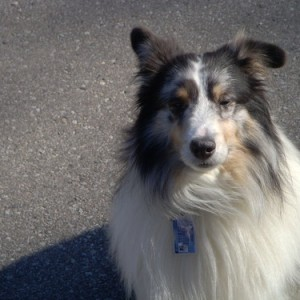 Zelig - Our beautiful Sheltie